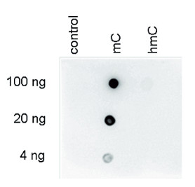 Dot blot using the monoclonal anti-5-mC (5-methylcystosine) antibodies'