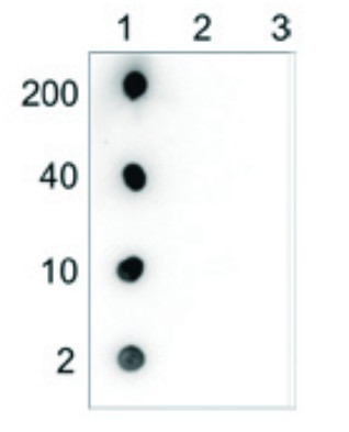 Dot blot using monoclonal anti 5-hmC antibodies
