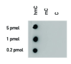 Dot blot using polyclonal anti 5-hmC antibodies
