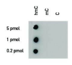 Dot blot using polyclonal anti 5-hmC antibodies