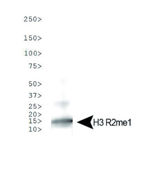 western blot using anti-H3R2me1 polyclonal antibodies