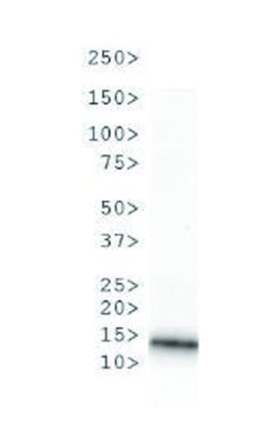 western blot using anti-H3R2me1 polyclonal antibodies on C.elegans embryo lysate