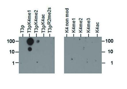 Dot blot using anti-H3T3pK4me1 polyclonal antibodies