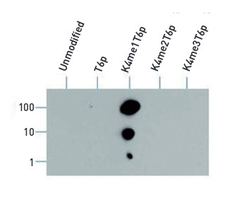 dot blot using anti-Histone H3 (monomethyl Lys4, p Thr6)  antibodies