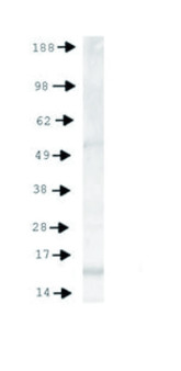 western blot using anti-Histone H3 (monomethyl Lys4, p Thr6) antibodies