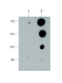Dot blot using anti-H3T6p antibodies