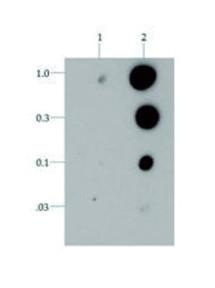 Dot blot using anti-H3T6p antibodies