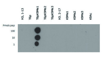 dot blot using anti-Methylated Histone H3 at Lys9 (K9)  antibodies