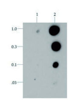 dot blot using anti-H3T6pK9me3 | Histone H3 (trimethyl Lys9, p Thr6)  polyclonal antibodies