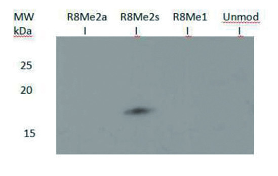 western blot using anti-H3R8me2(sym) | H3 (sym-dimethyl Arg8)  polyclonal antibodies