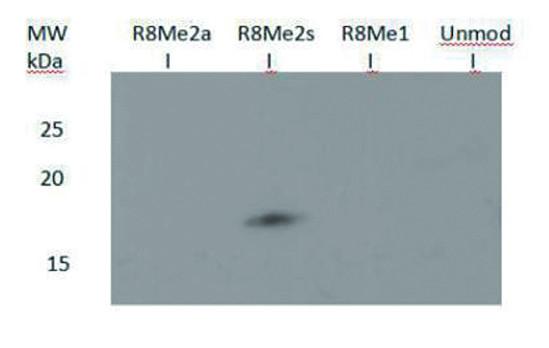 western blot using anti-H3R8me2(sym) | H3 (sym-dimethyl Arg8)  polyclonal antibodies