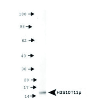 western blot using anti-H3S10pT11p | Histone H3 (p Ser10, p Thr11)  polyclonal antibodies