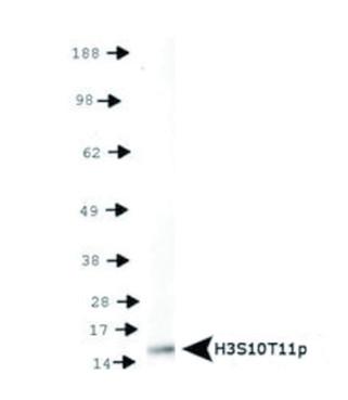 western blot using anti-H3S10pT11p | Histone H3 (p Ser10, p Thr11)  polyclonal antibodies