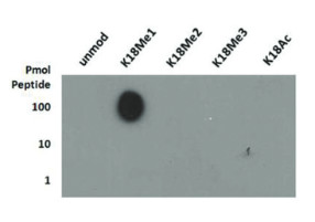 Dot blot using anti-H3K18me1 | Histone H3 (monomethyl Lys18) polyclonal antibodies