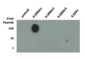 Dot blot using anti-H3K18me1 | Histone H3 (monomethyl Lys18) polyclonal antibodies