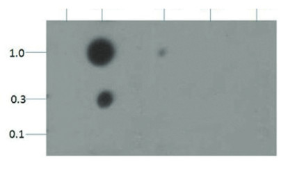 dot blot using anti-H3K18me2 | Histone H3 (dimethyl Lys18) polyclonal antibodies