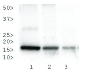 western blot using anti-H3K27me3S28p | Histone H3 (trimethylated Lys27, p Ser28)  polyclonal antibodies