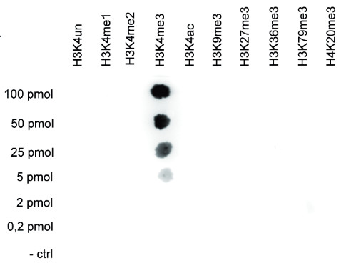 Dot blot using anti-H3K4me3 | histone H3, trimethylated lysine 4 (H3K4me3) polyclonal antibodies