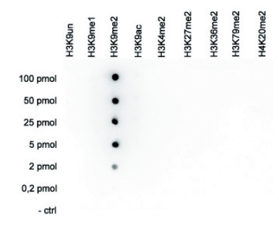 Dot blot using anti-H3K9me2 | Histone H3 dimethylated lysine 9 polyclonal antibodies