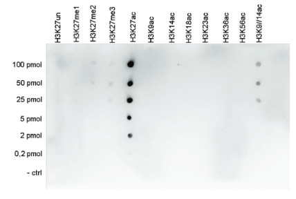 Dot blot using anti-H3K27ac | Histone H3 acetylated lysine 27 (ChIP grade)  polyclonal antibodies