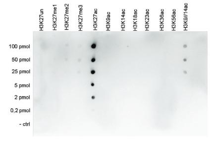 Dot blot using anti-H3K27ac | Histone H3 acetylated lysine 27 (ChIP grade)  polyclonal antibodies