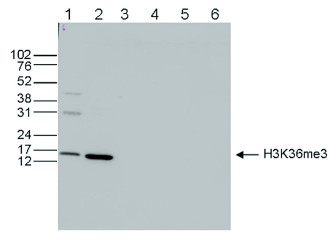 western blot using anti-H3K36me3 | Histone H3 trimethylated lysine 36 (ChIP grade) polyclonal antibodies