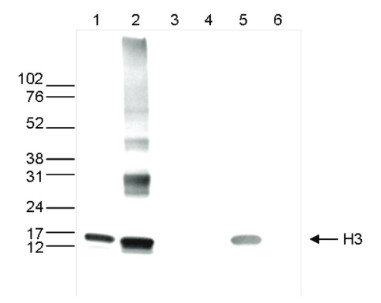 western blot using anti-H3core | (monoclonal) antibodies