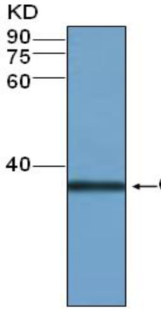 western blot using anti-BZR1 polyclonal antibodies