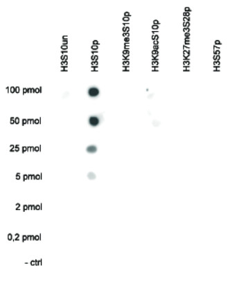 dot blot using anti-H3S10p | Histone H3 (p Ser10)  polyclonal antibodies