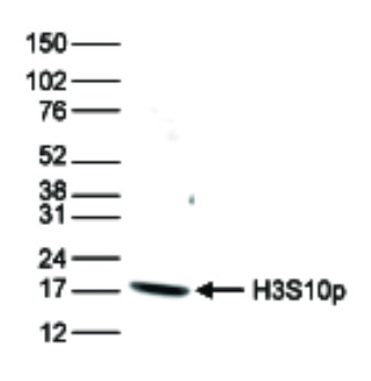 western blot using anti-H3S10p | Histone H3 (p Ser10) polyclonal antibodies