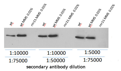 western blot using anti-Rnr1 antibodies