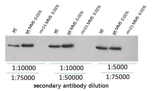 western blot using anti-Rnr1 antibodies