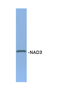 western blot using anti-NAD3 rabbit antibodies