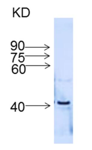 western blot using anti-IFR, isoflavone reductase antibodies
