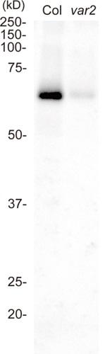 Western blot using anti-FtsH2 antibodies on Arabidopsis thaliana wt and var2 mutant