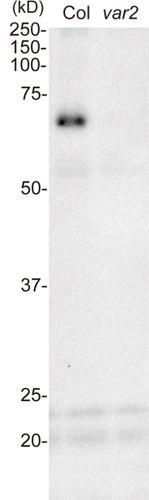 Western blot using anti-FtsH1 antibodies on Arabidopsis thaliana wt and var2 mutant