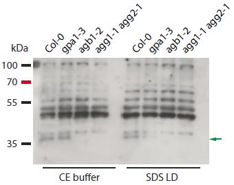 Western blot using anti-AGB1 antibody