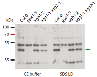 Western blot using anti-GPA1 antibody