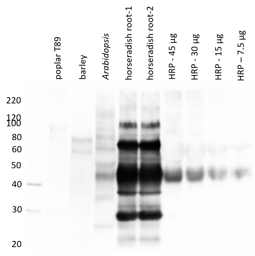 Western blot using anti-HRP antibody