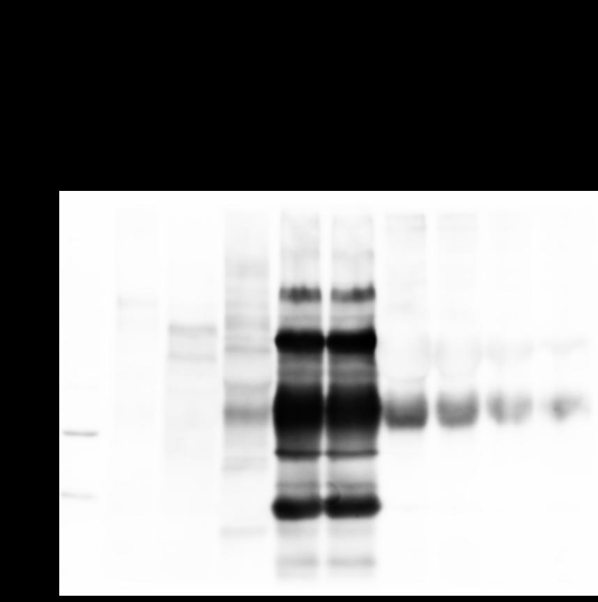 Western blot using anti-HRP antibody
