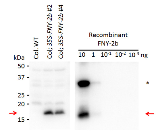 western blot using anti-2b protein [Cucumber mosaic virus]