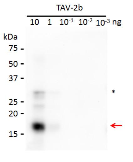 western blot using anti-2b protein [Tomato aspermy virus] antibody