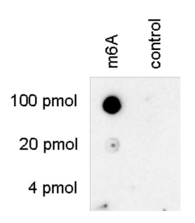 Dot blot using anti-m6A antibodies