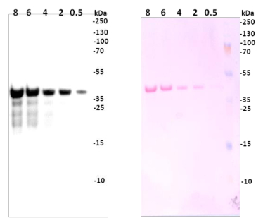 western blot using anti-GST antibodies on plant tissue