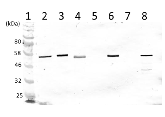 Western blot using anti-V ATPase subunit A and B antibodies