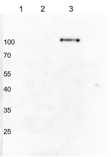 Western blot using anti-Hordeum vulgare PHR1 antibodies