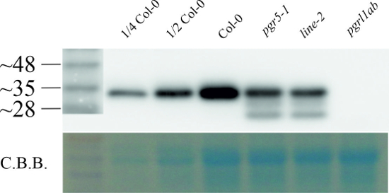Western blot using anti-PGRL1 antibodies