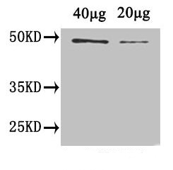 Western blot using anti-plant CYCB1 antibodies