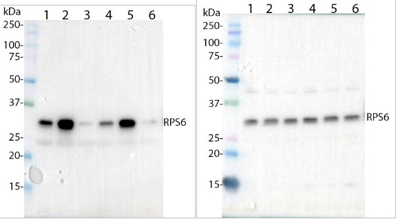 Western blot using anti-RPS6A/P240 antibodies