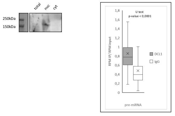 ChIP using anti-DCL1 antibodies